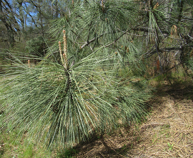 Coulter Pine_4334