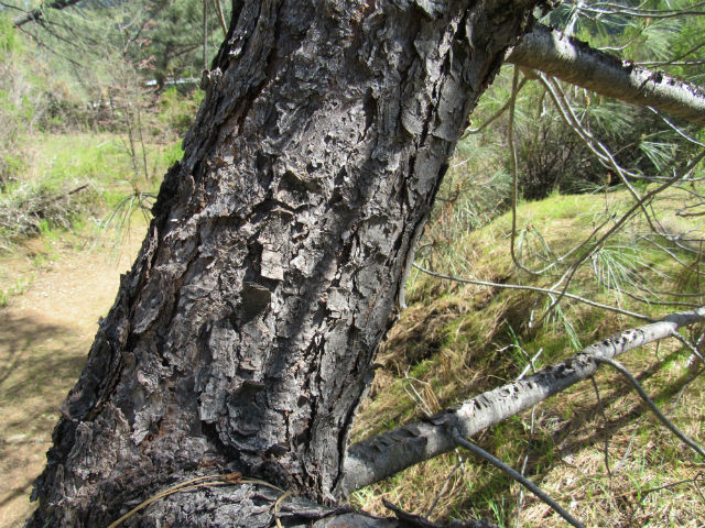 Coulter Pine_4339