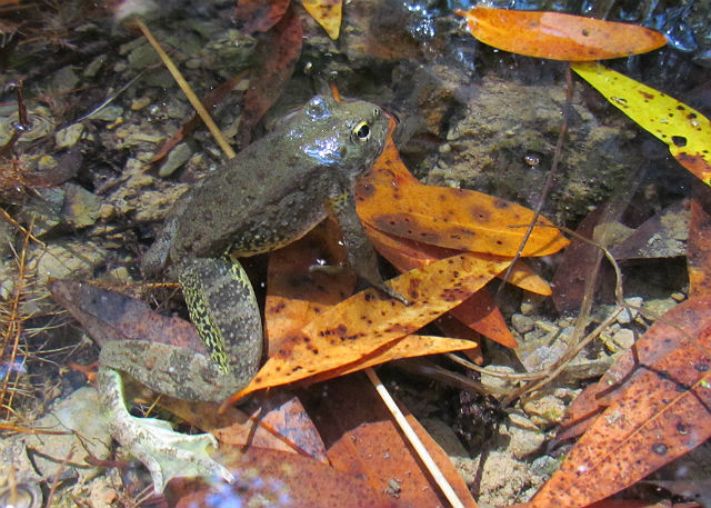 Foothill Yellow-Legged Frog_2512