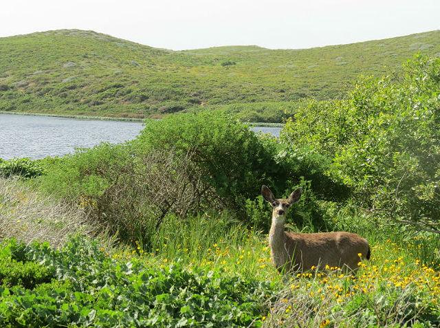 Mule Deer_0960