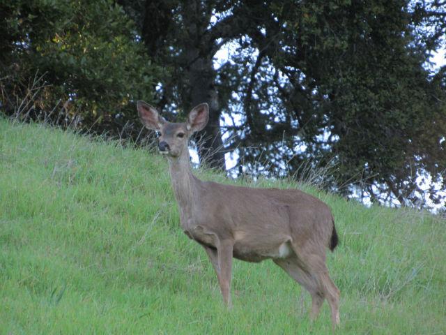 Mule Deer_2499