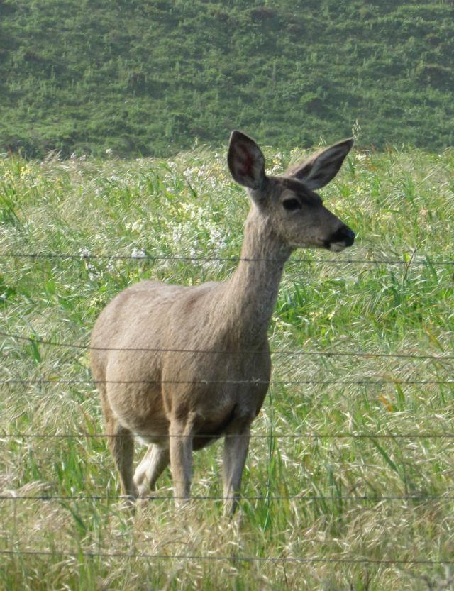 Mule Deer_2604