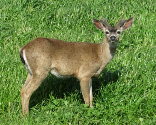Mule Deer_3920
