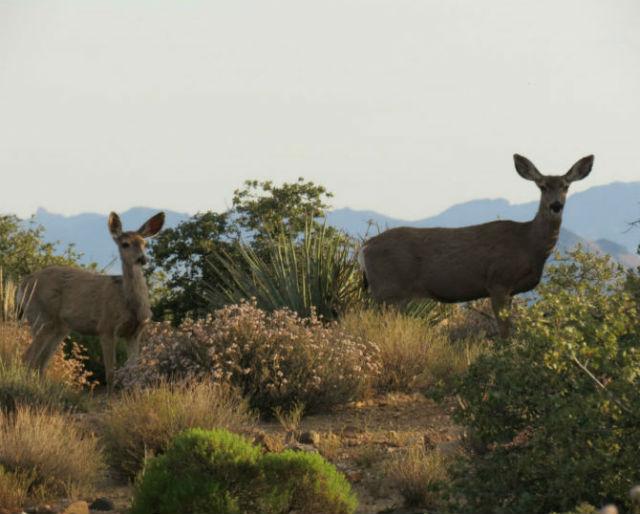mule deer_1553