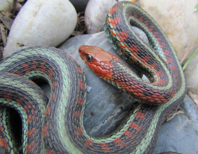 California Red-sided Garter Snake_2553