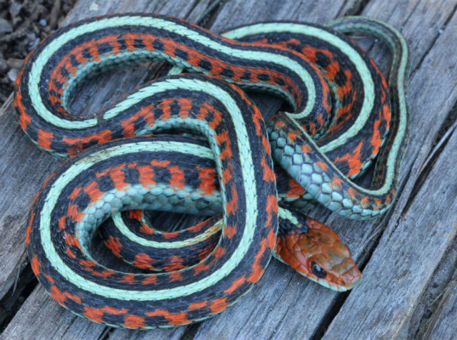 California Red-sided Garter Snake_5342