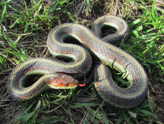 California Red-sided Garter Snake_6012