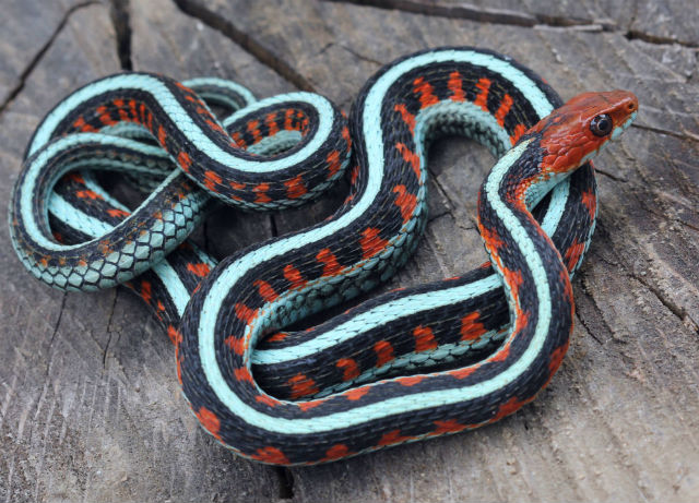 California Red-sided Garter Snake_9389