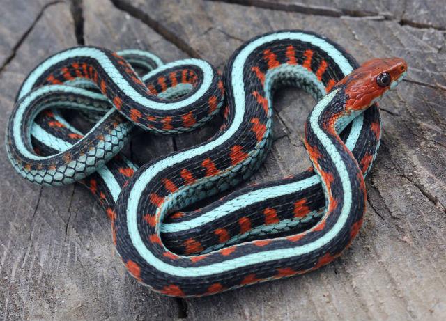 California Red-sided Garter Snake_9389