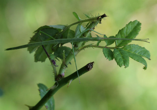 Northern Walkingstick 056