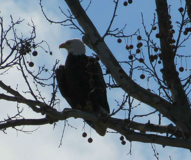 bald eagle 09016_n