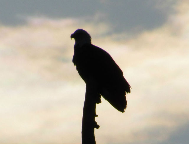 bald eagle_0748