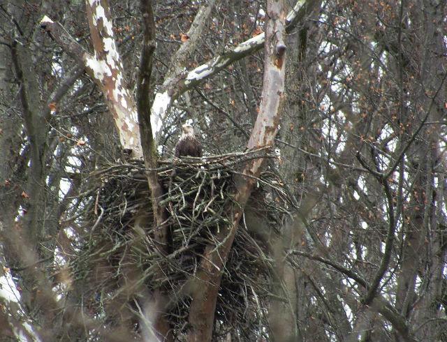 bald eagle_1512
