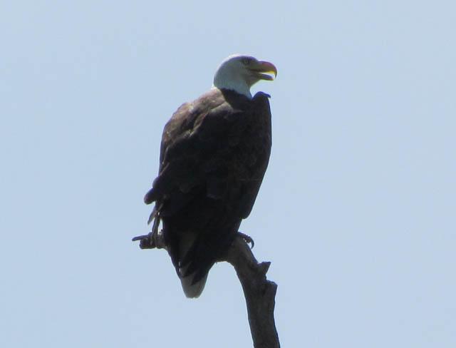 bald eagle_4221