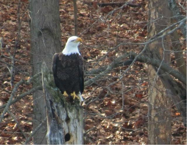 bald eagle_8530