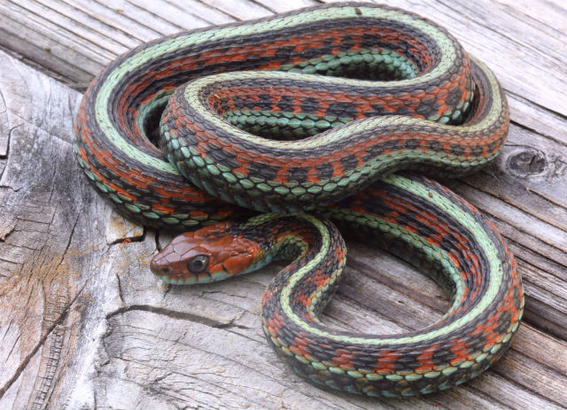 california red-sided garter snake_9231