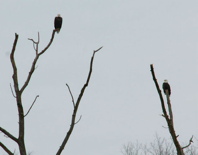 eagle022