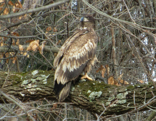 immature bald eagle_0878