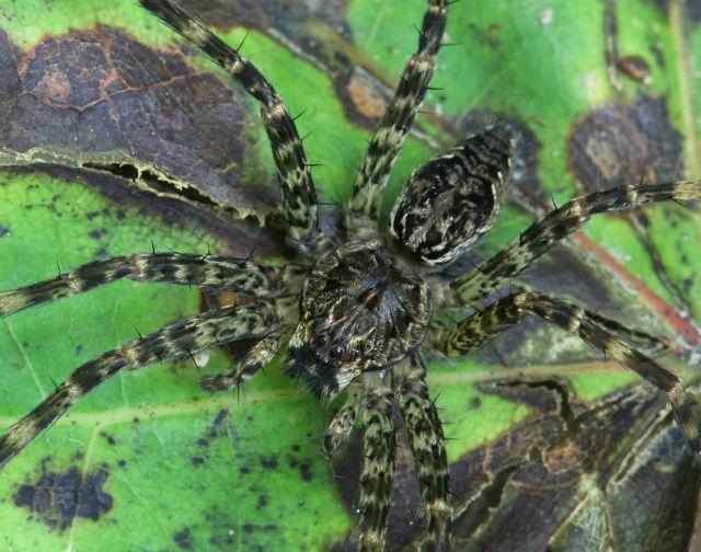 Dark Fishing Spider 036