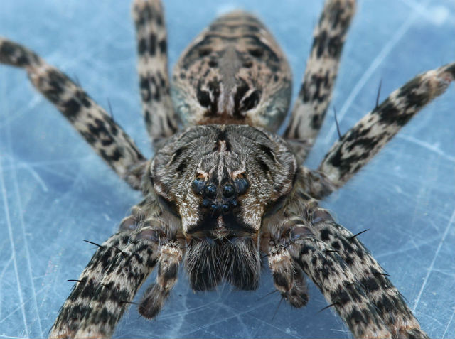 Dark Fishing Spider_1463