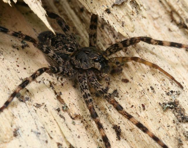Dark Fishing Spider_2527
