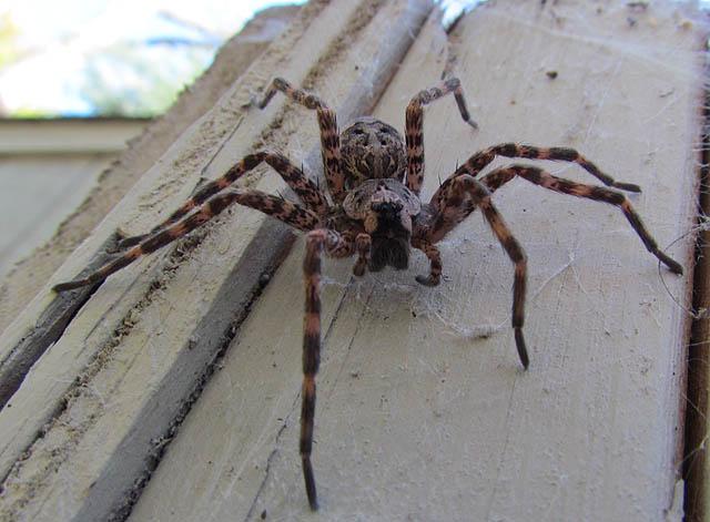 Dark Fishing Spider_7451