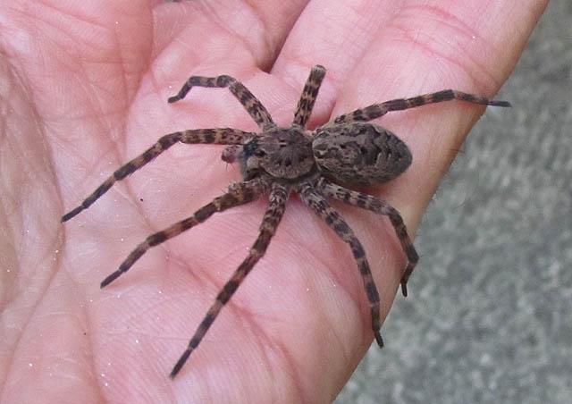 Dark Fishing Spider_7458