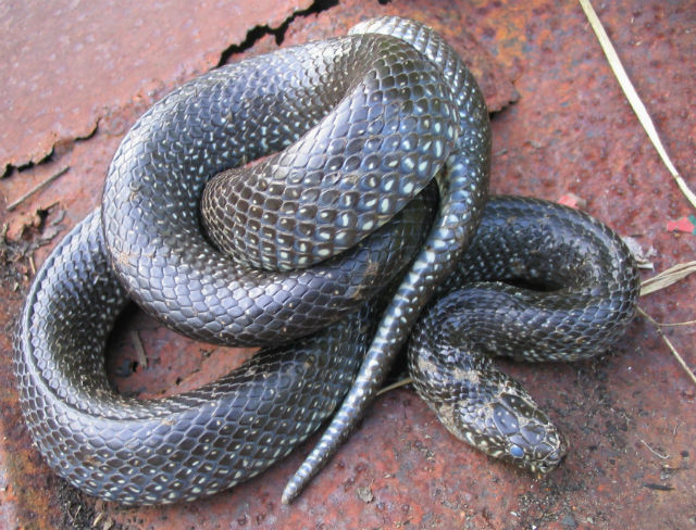 Eastern Black Kingsnake 0032