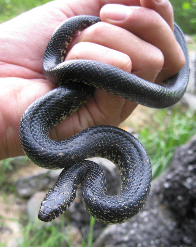 Eastern Black Kingsnake 05-10 153