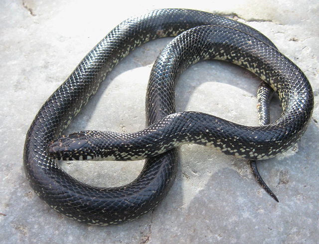Eastern Black Kingsnake 180