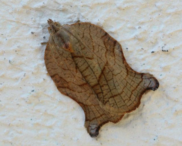 Omnivorous Leafroller Moth_3109