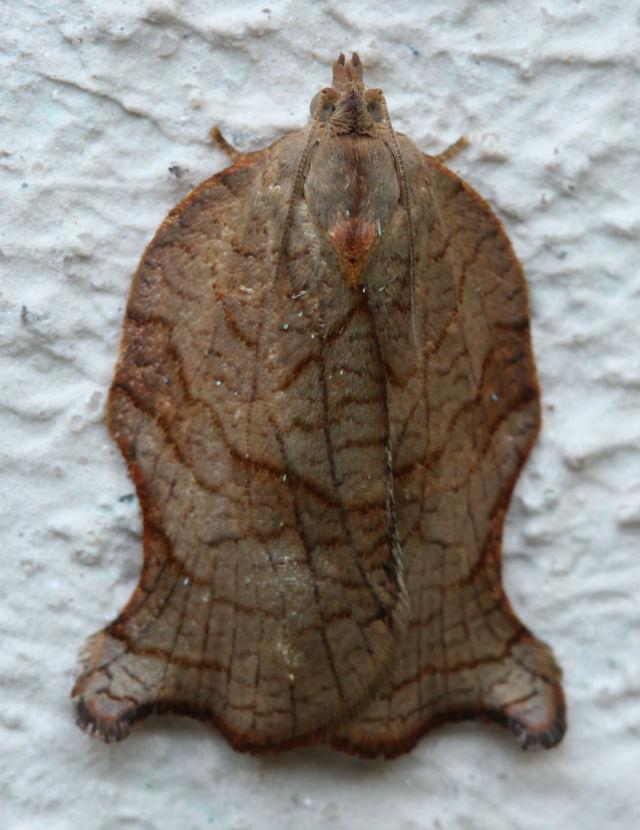 Omnivorous Leafroller Moth_3115