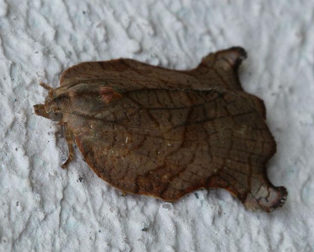 Omnivorous Leafroller Moth_3118