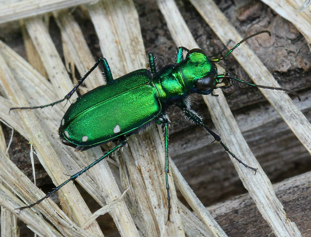 Six-spotted Tiger Beetle 033