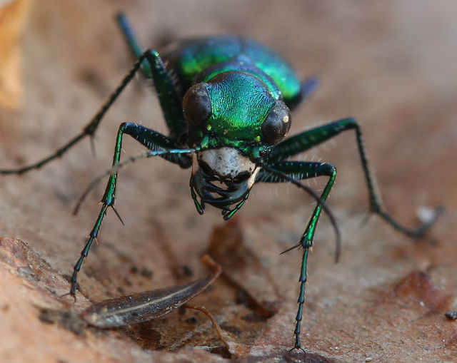 Six-spotted Tiger Beetle_5459