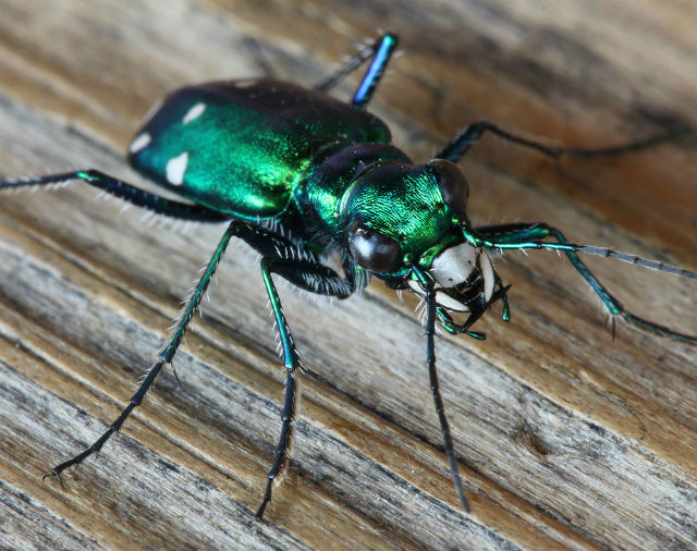 Six-spotted Tiger Beetle_8972