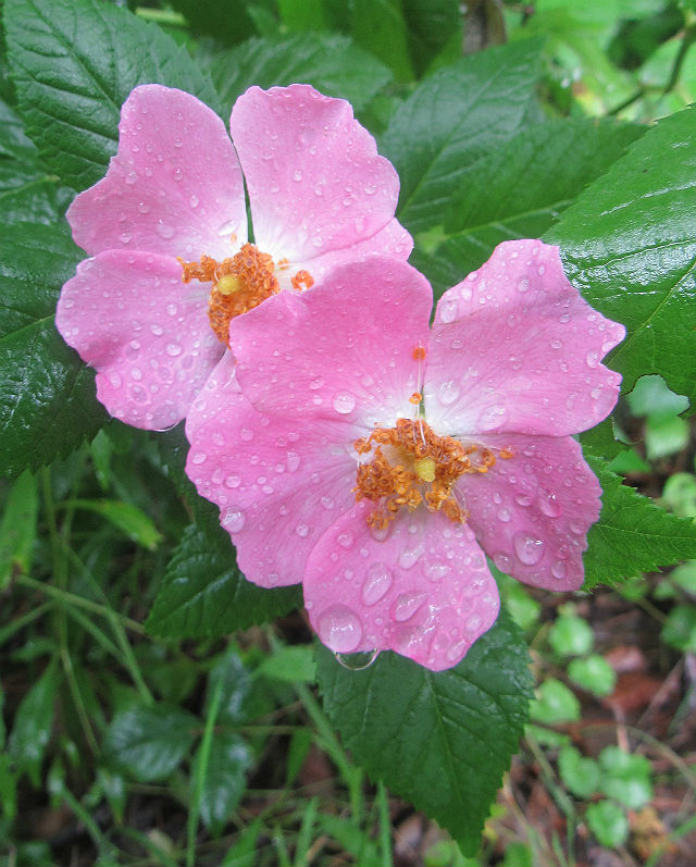 multiflora rose_6929