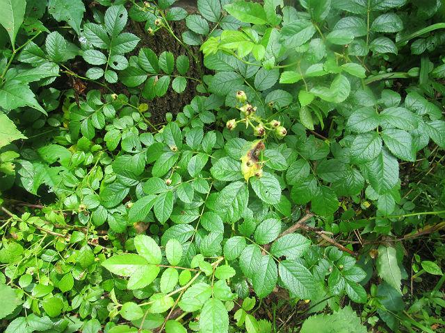 multiflora rose_7066