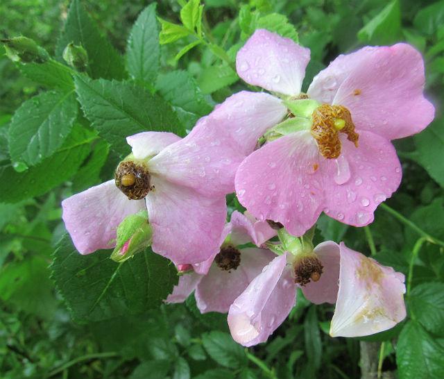 multiflora rose_7075