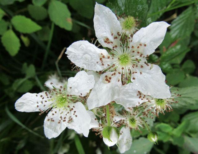 multifloral rose_5884