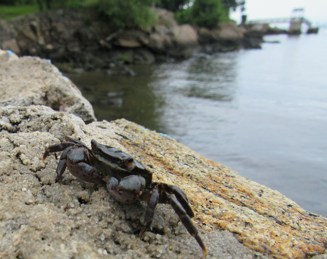 Asian Shore Crab_8374