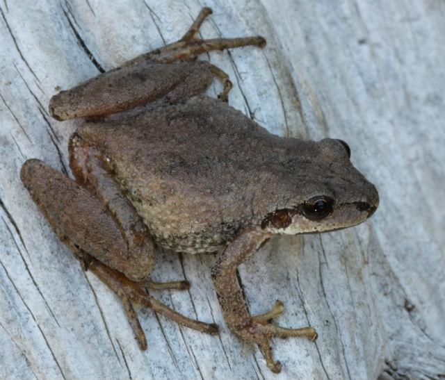 Mountain Chorus Frog 221