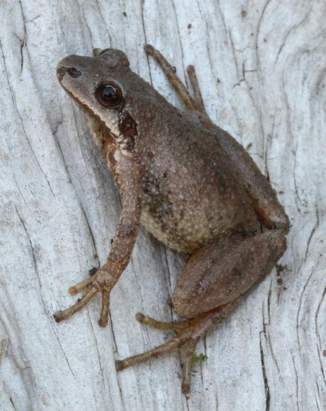 Mountain Chorus Frog217