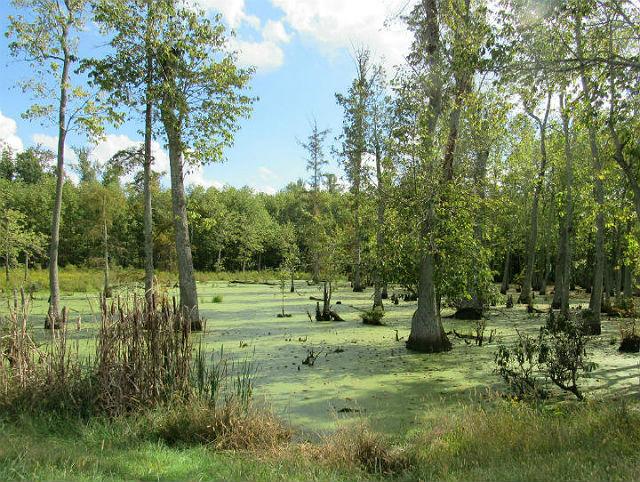 Cypress Swamp_9854