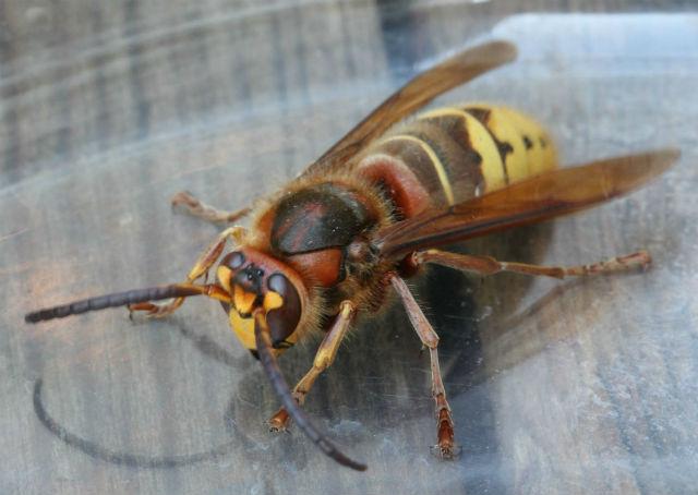 European hornet_8460
