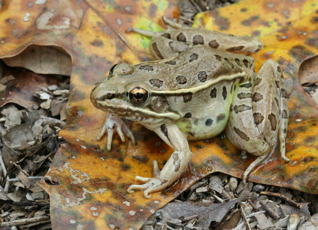 Leopard Frog_3717