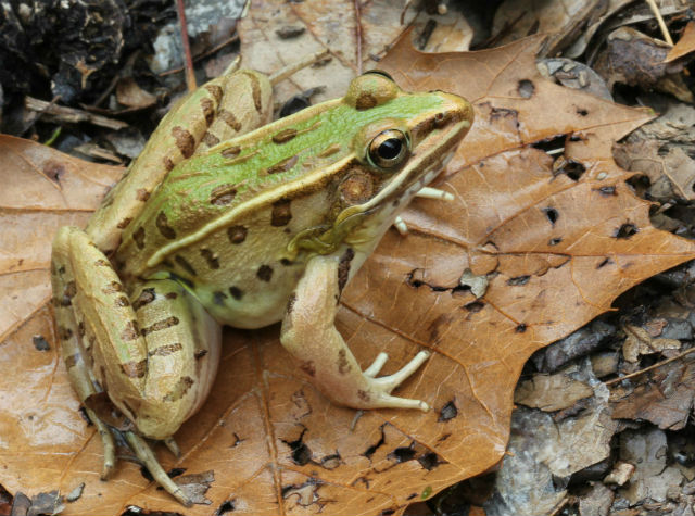 Leopard Frog_3733