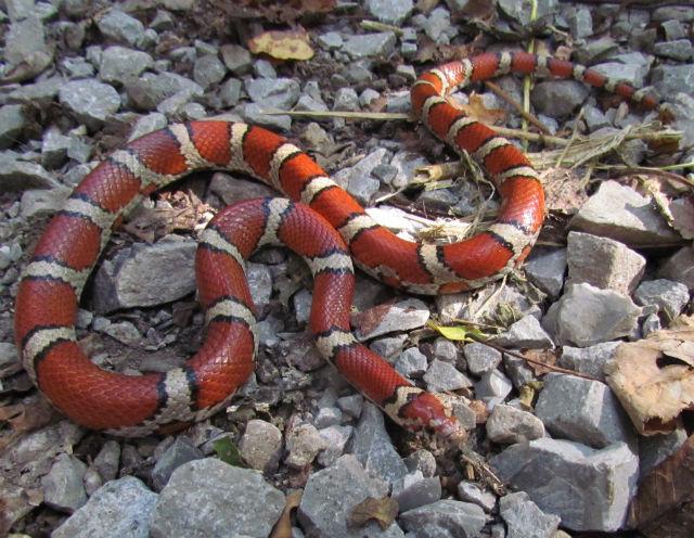 Red Milk Snake_3614