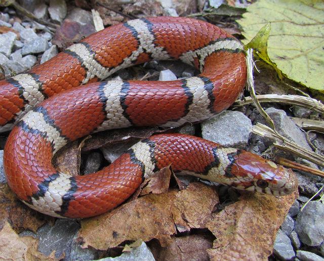 Red Milk Snake_3622