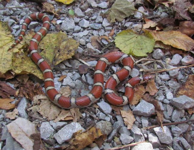 Red Milk Snake_3626